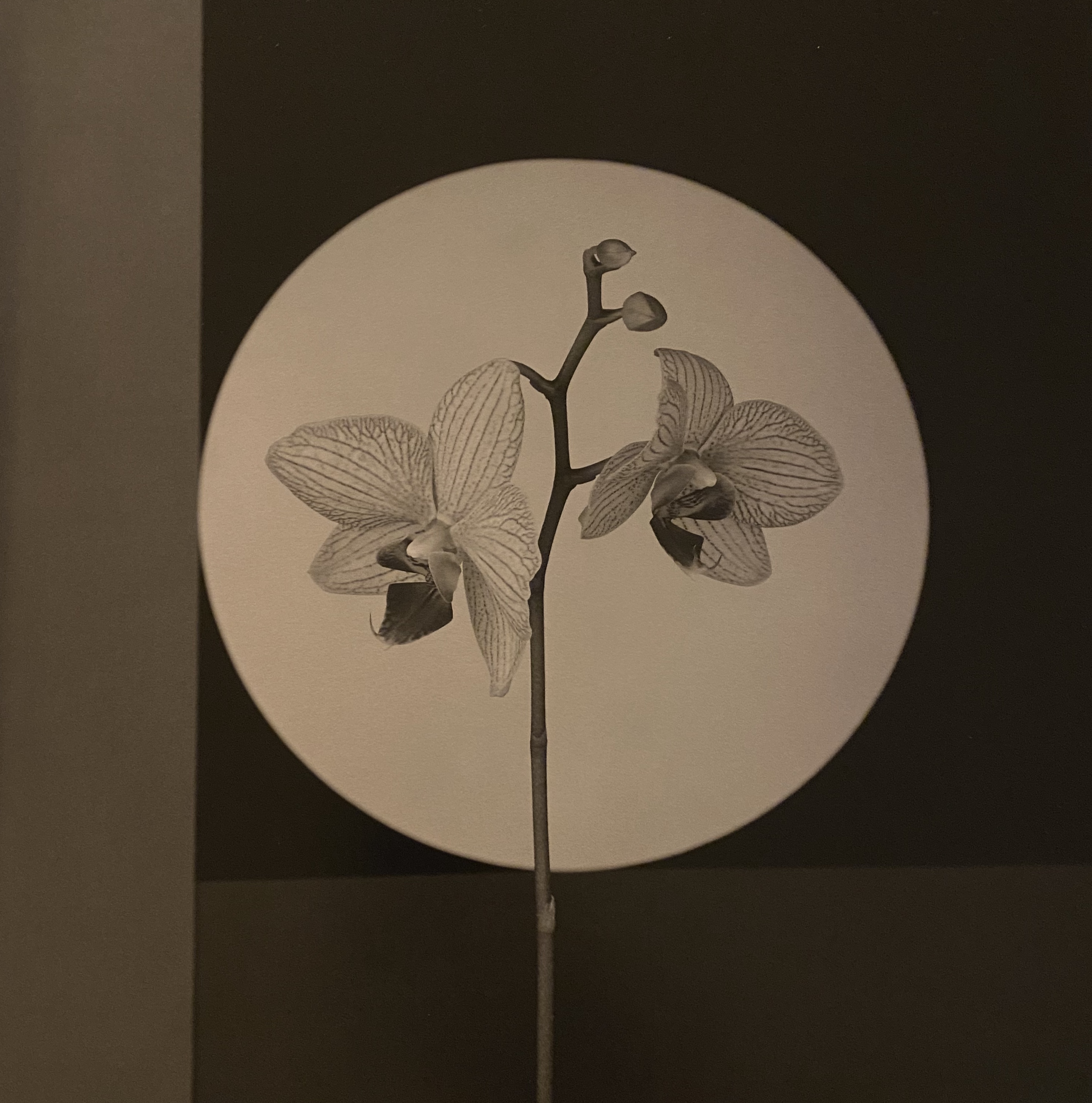 Two orchids on a geometric backdrop