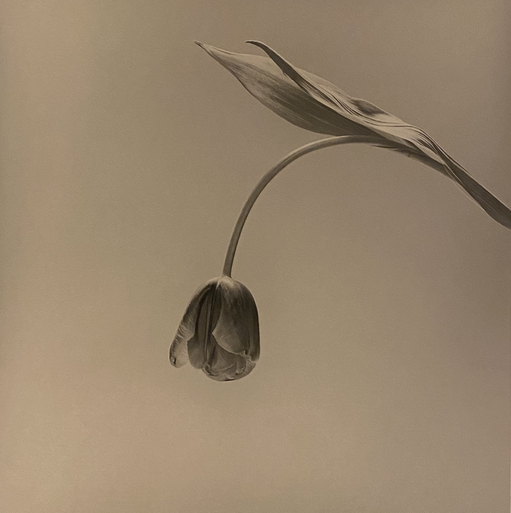 A single tulip, arcing down towards the ground on a midtone gray background